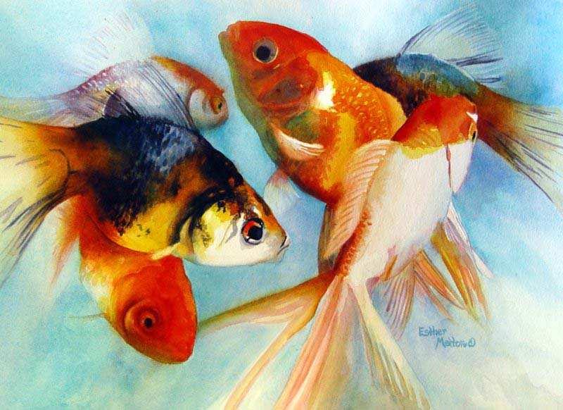 درباره ماهی قرمز goldfish