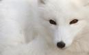 Wolf؛ يک Wallpaper زيبا براي علاقهمندان به رنگ روشن